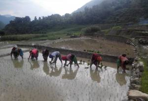 Ropain (Rice Planting) in Nepal