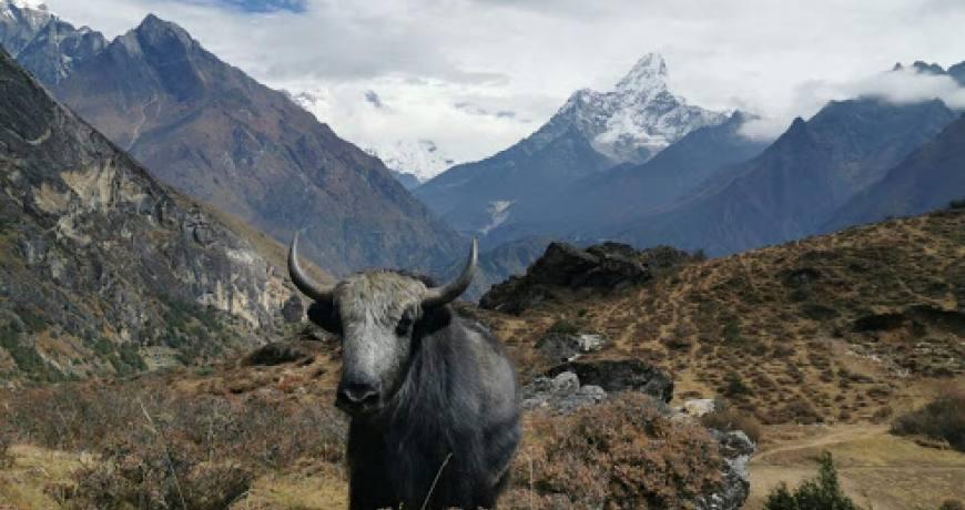 Yak on the Everest Base Camp Trekking Trail