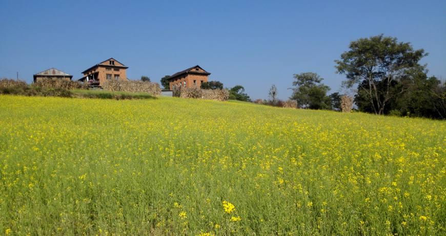 Amazing mustard farm in Balthali